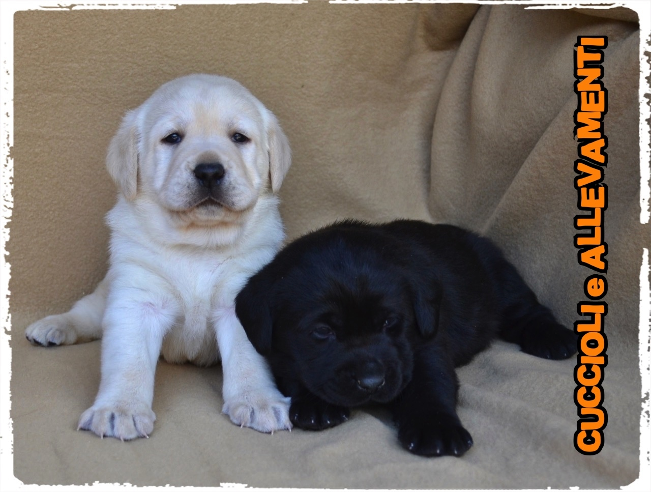 Labrador Retriever 17_wm