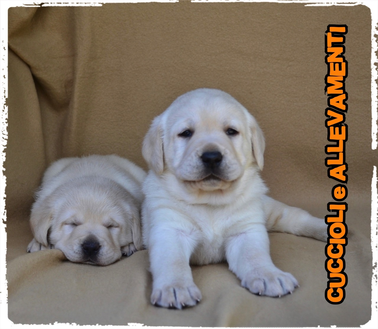 Labrador Retriever 19_wm