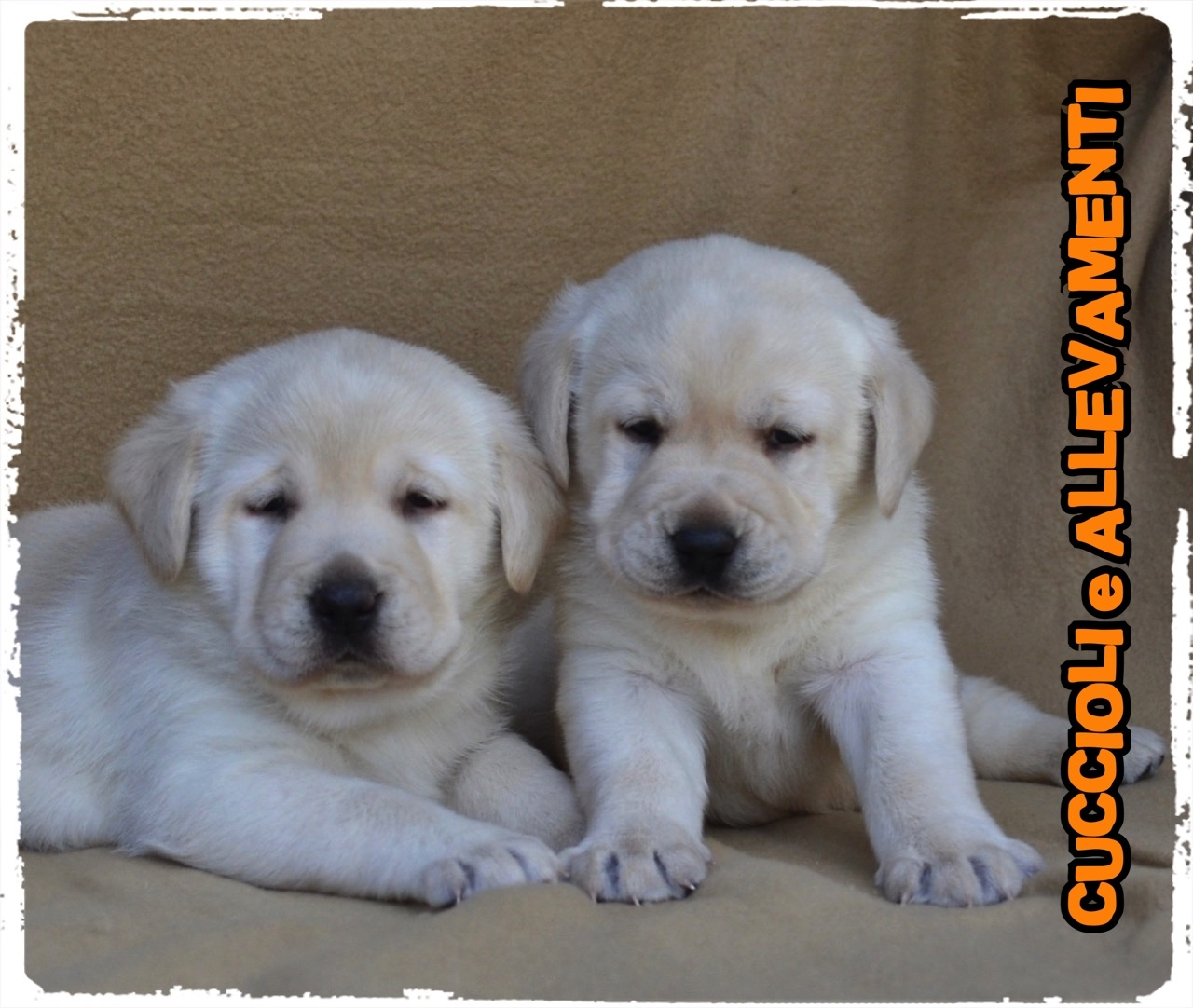 Labrador Retriever 20_wm