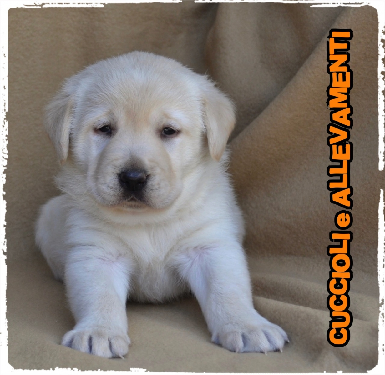 Labrador Retriever 21_wm