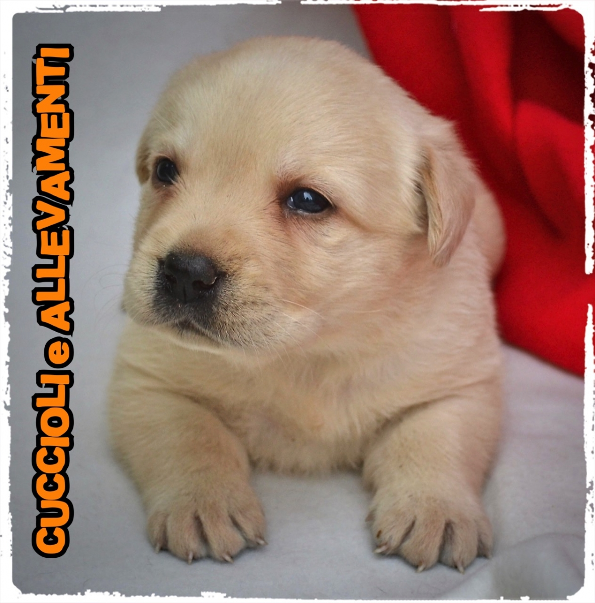 Labrador Retriever 2_wm