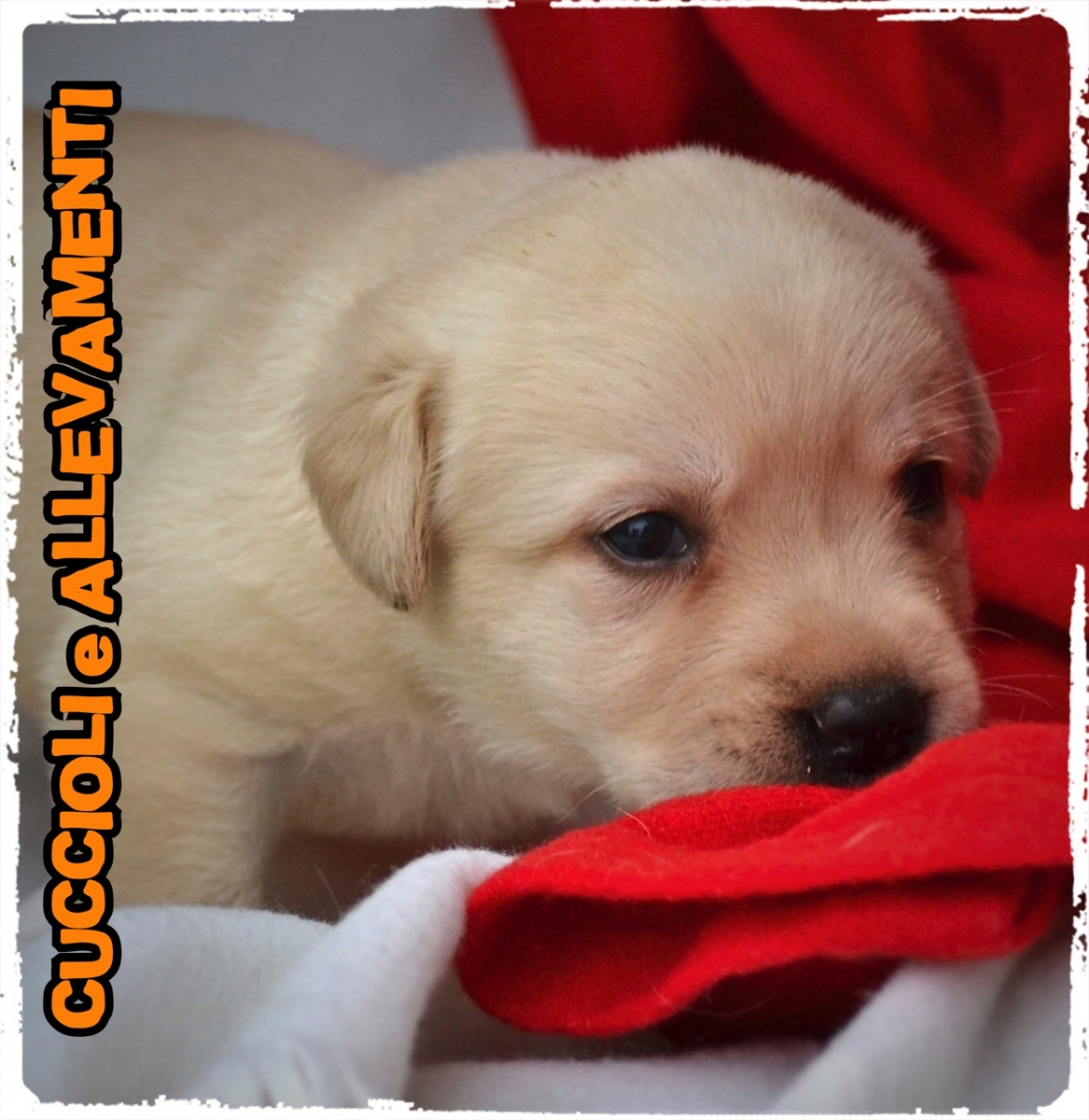 Labrador Retriever 3_wm
