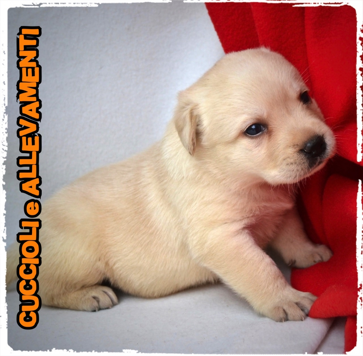 Labrador Retriever 4_wm