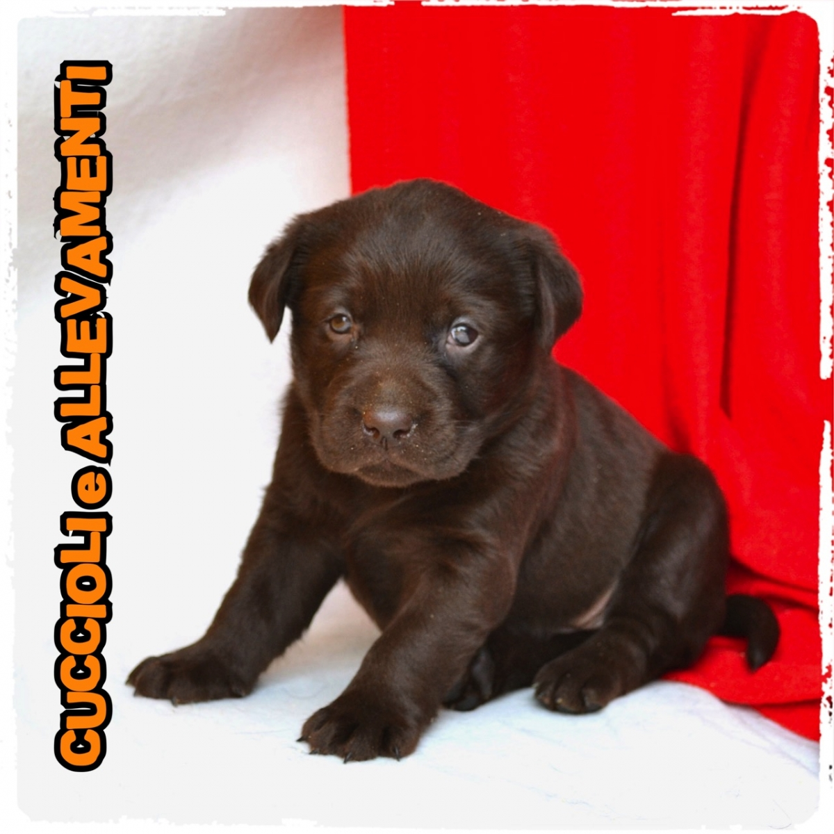 Labrador Retriever 5_wm
