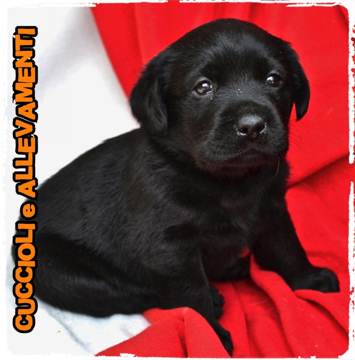 Labrador Retriever 9_wm
