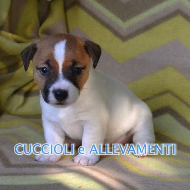 Jack Russel Pelo Ruvido Carattere Jack Russell Terrier