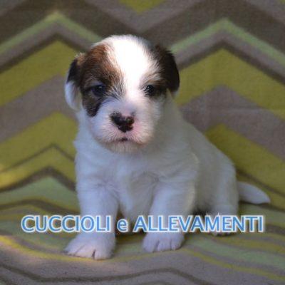 Jack russell terrier cuccioli a pelo corto e ruvido con for Jack russel pelo lungo