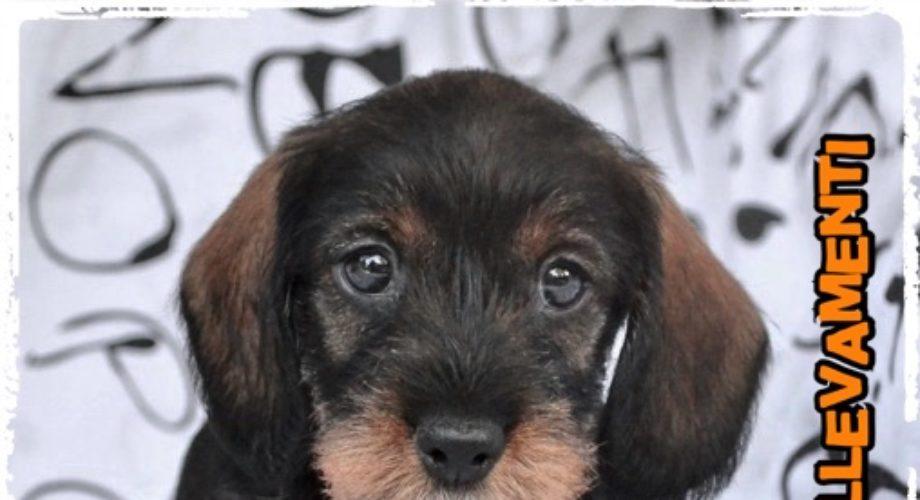 Weimaraner cuccioli con pedigree allevamento for Jack russel pelo lungo