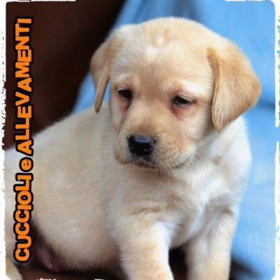 Labrador Retriever - Cuccioli e Allevamenti
