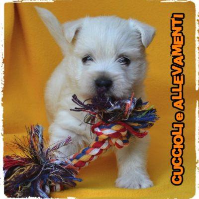 West Highland White Terrier - Cuccioli e Allevamenti