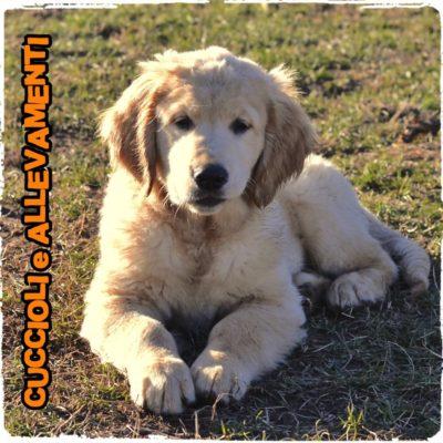 Golden Retriever - Cuccioli e Allevamenti