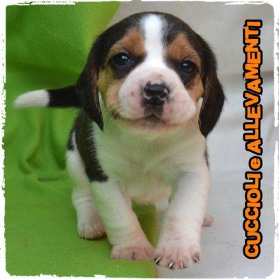 Beagle - Cuccioli e Allevamenti