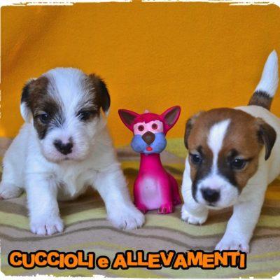 Jack Russell Terrier - Cuccioli e Allevamenti