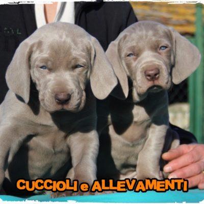 Weimaraner - Cuccioli e Allevamenti