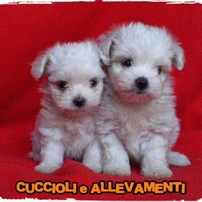 Maltese - Cuccioli e Allevamenti