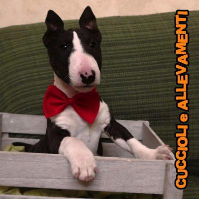 Bull Terrier Miniature - Cuccioli e Allevamenti